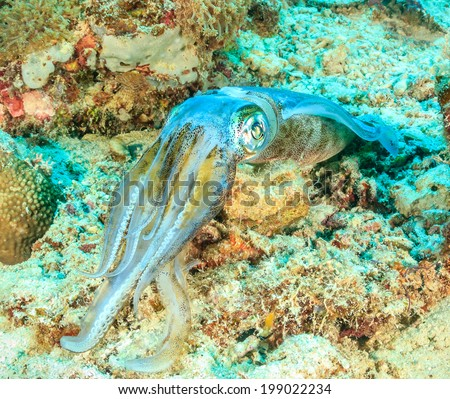Squid on a tropical coral reef