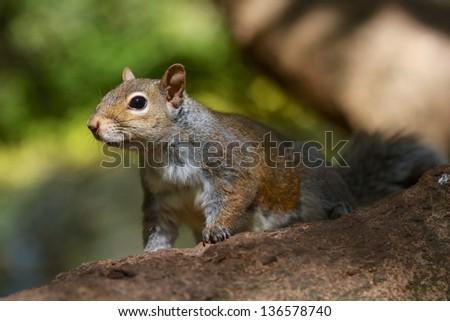 squirel in Golden Gate Park - stock photo