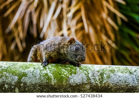 Squirrel (Callosciurus erythraeus), Red-bellied tree squirrel.
