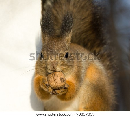 Squirrel chews walnut