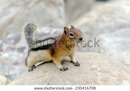 Squirrel Chipmunk in Lake Louise in Banff Park - stock photo
