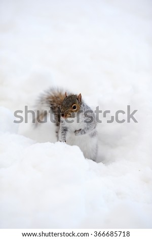 Squirrel closeup with white snow in winter from Central Park in New York City Manhattan. - stock photo