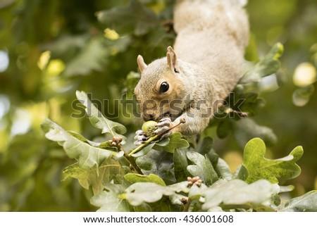 Squirrel eating acorns - stock photo