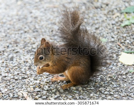 Squirrel eating bread, close up face of squirrel - stock photo