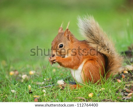 Squirrel eating food on the ground - stock photo