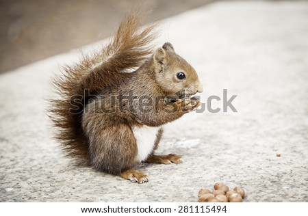Squirrel eating hazelnuts in natural park, animal