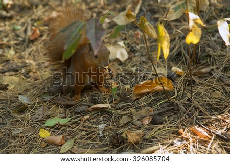 Squirrel Eating nut on an Autumn Forest.  Squirrel Hiding behind Autumn leaves. Close-up  - stock photo