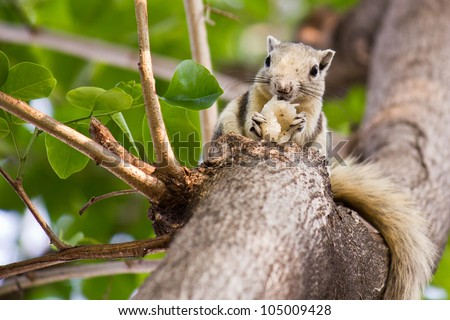 squirrel eating sticky rice - stock photo
