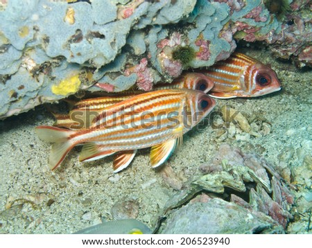 squirrel fishes - stock photo