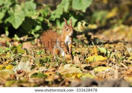 Squirrel gnaws walnut. Squirrel - a rodent of the squirrel family. Ukraine.