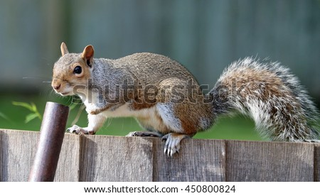 Squirrel, grey brown with bushy tail, on top of oak fence looking into wheel barrow handle, - stock photo