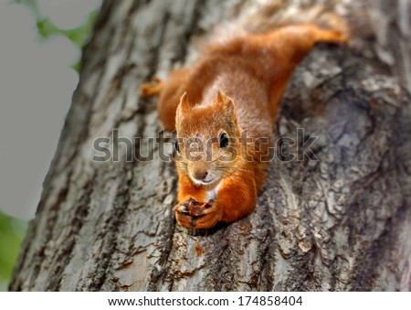Squirrel hanging on a tree - stock photo