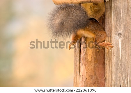 squirrel hanging with legs outside a birdhouse  - stock photo