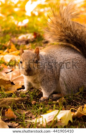 Squirrel in autumn colors park waiting for nuts closeup - stock photo