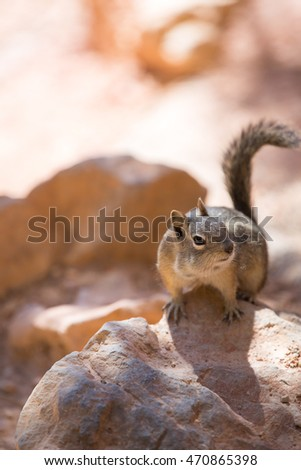 Squirrel in Bryce Canyon, USA.