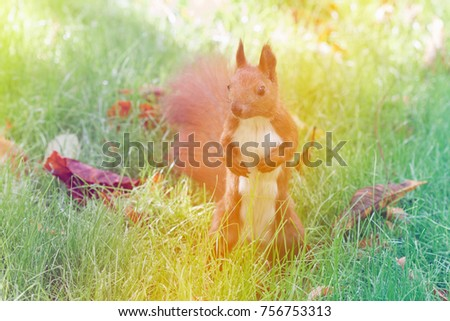 squirrel in grass in park in autumn close up