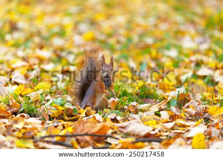 Squirrel in the autumn forest. - stock photo