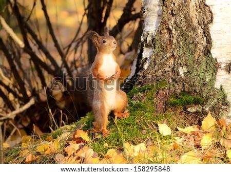 Squirrel in the autumn park - stock photo