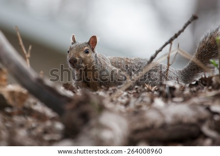 squirrel in the grass looking at the camera  - stock photo