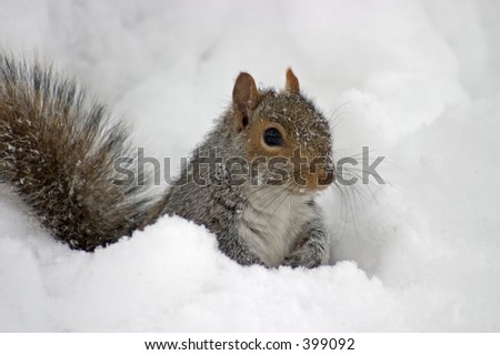 squirrel in the snow - stock photo