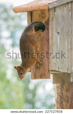 squirrel is hanging out a birdhouse looking down - stock photo
