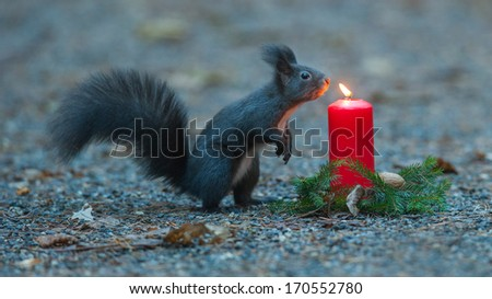 Squirrel is wondering about a candle - stock photo