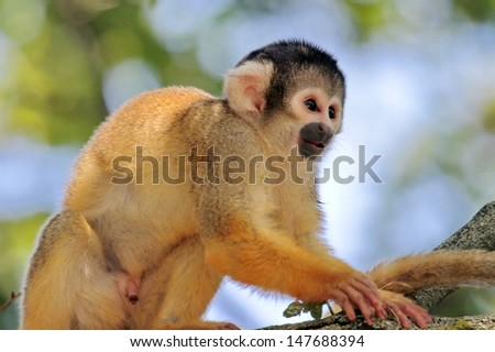 Squirrel Monkey holding at a branch (Saimiri sciureus) - stock photo