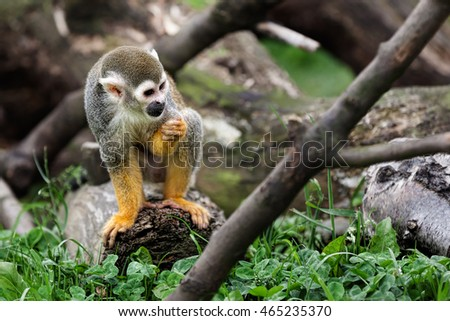 Squirrel monkey in a tree