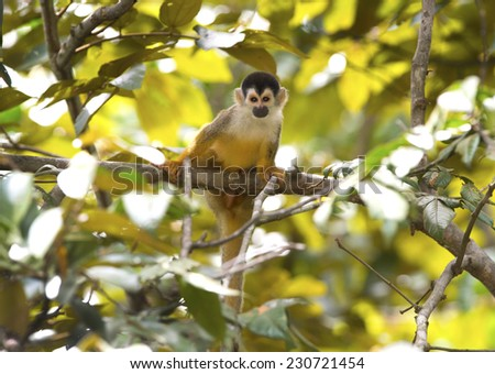 squirrel monkey in tree, carate, golfo dulce, costa rica near panama. cute brown ape primate in lush jungle rainforest