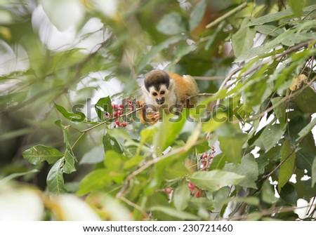 squirrel monkey in tree, carate, golfo dulce, costa rica near panama. cute brown ape primate in lush jungle rainforest - stock photo