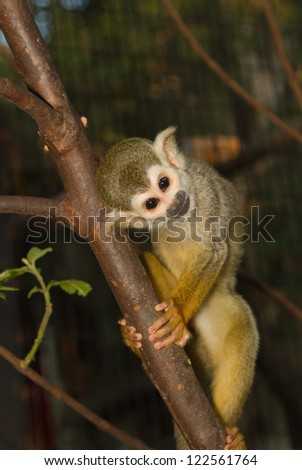 Squirrel Monkey on a branch (Saimiri sciureus,shallow DOF) - stock photo
