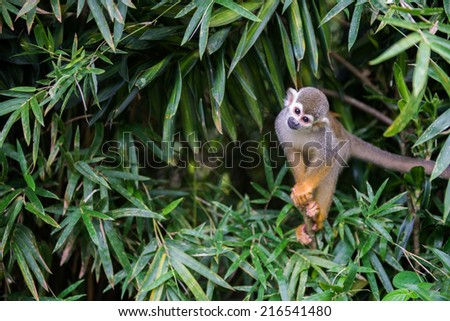 Squirrel Monkey on the tree - stock photo