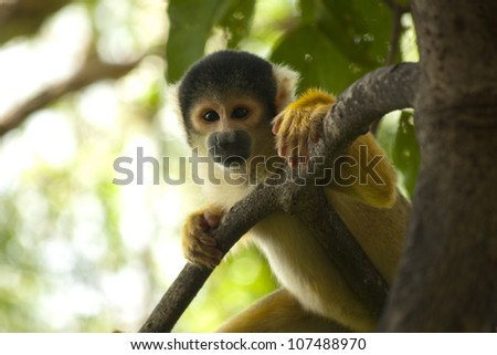 Squirrel Monkey on Tree - stock photo