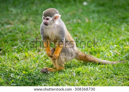 Squirrel Monkey pictured in the uk during the summer.
