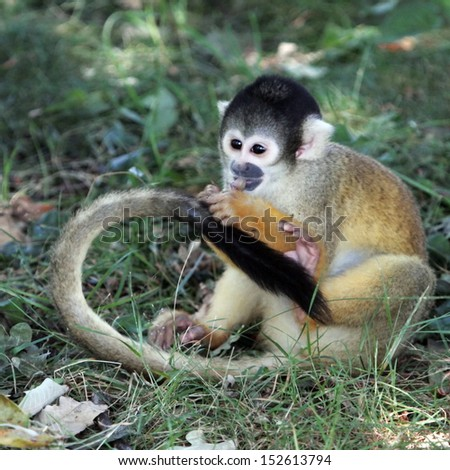 Squirrel monkey (saimiri sciureus) eating on the ground - stock photo