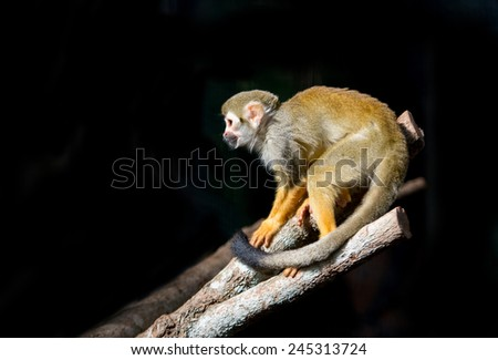 squirrel monkey (Saimiri sciureus ) in dark background - stock photo