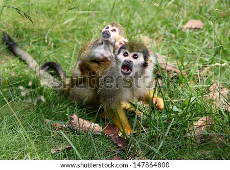 Squirrel Monkeys Being Amazed