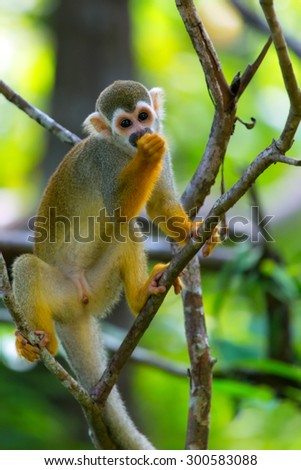Squirrel monkeys feeding in the trees. - stock photo