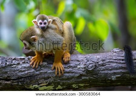 Squirrel monkeys in trees - photo#20