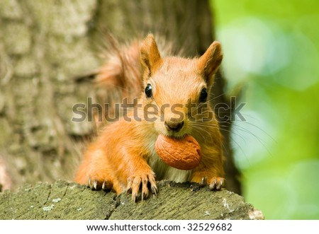 squirrel on a tree gnawing s nut - stock photo