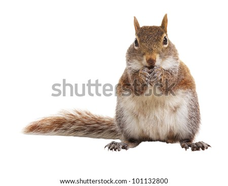 Squirrel on a white background - stock photo