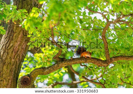 Squirrel on branch of oak tree in summer time