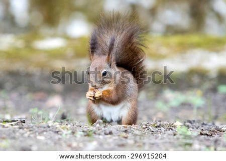 squirrel on the ground eating nuts - stock photo