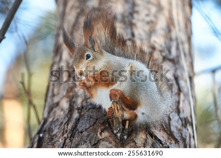 Squirrel on tree with nut at winter - stock photo