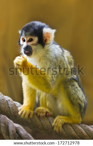 Squirrel- or Skull monkey sitting on rope - stock photo