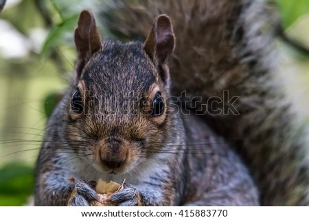 Squirrel prorait with food - stock photo