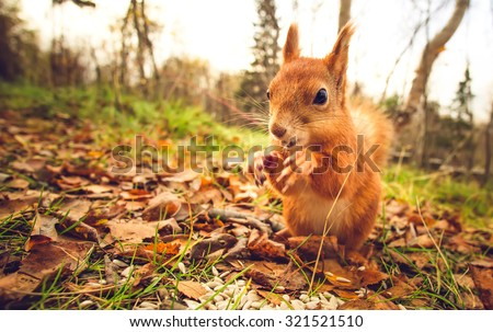 Squirrel red fur funny pets autumn forest on background wild nature animal thematic (Sciurus vulgaris, rodent) - stock photo