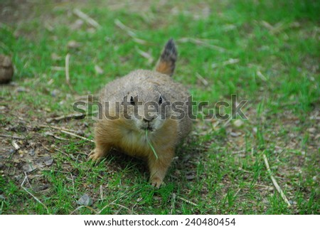 squirrel rodent animal in the grass watching