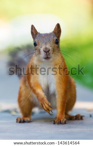 squirrel sits and looks ahead on the background of bright green foliage and sky - stock photo
