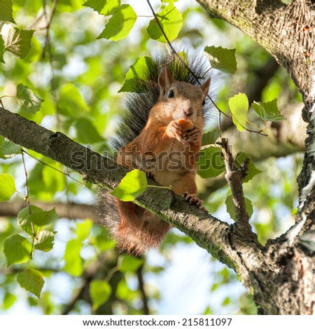 Squirrel sits on birch branch full face and nibbles. Moscow, Russia.